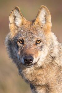 Wolf Wolfskopf
