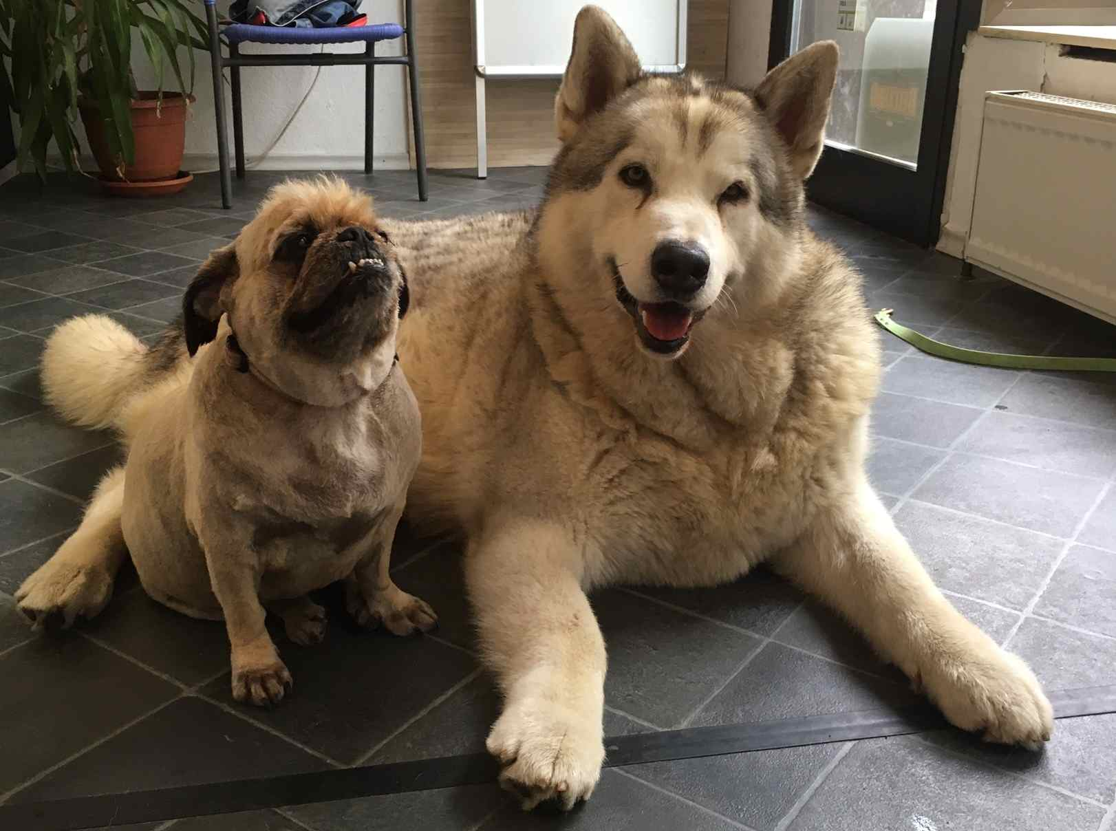 Alaskan Malamute Diesel Hund