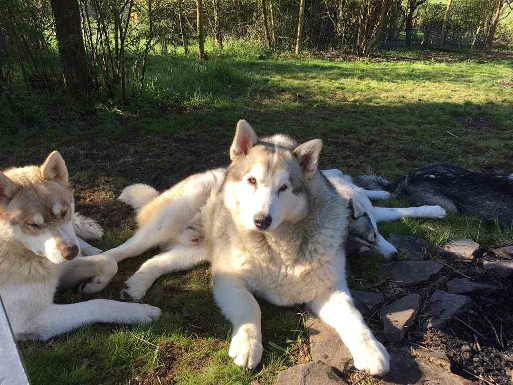 Hund Alaskan Malamute Diesel