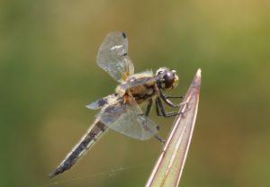 Eine Libelle an der Orttilienquelle