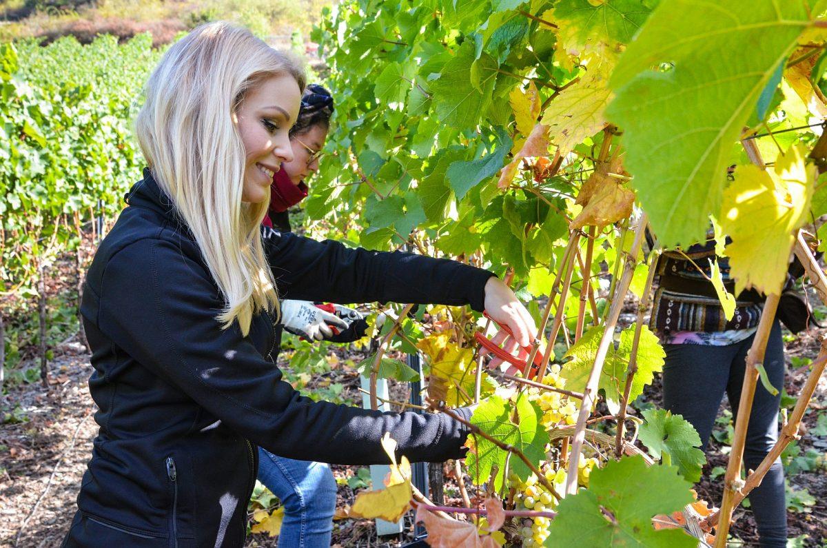Sarah Hulten bei der Weinlese